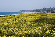 Cardiff By The Sea Prints - California wildflowers Print by Daniel  Knighton