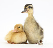 Mallard Ducklings Photos - Call Duckling And Mallard Duckling by Mark Taylor