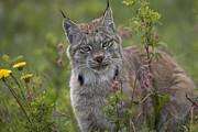 Lynx Sp Framed Prints - Canada Lynx Portrait North America Framed Print by Tim Fitzharris