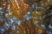 Dappled Light Framed Prints - Canopy Of Autumn Branches Framed Print by David Chapman