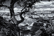 Canyon Tree Print by Joanne Mason