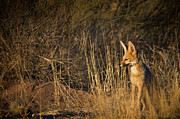 Africa Photos - Cape Fox by Hein Welman