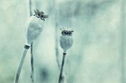 Poppy Photo Metal Prints - Capsule Series Metal Print by Priska Wettstein