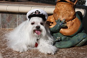 Maltese Dog Posters - Captain Maltese Dog  Poster by Sally Weigand