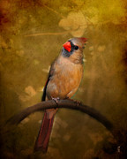 Cardinal Photo Framed Prints - Cardinal II Framed Print by Jai Johnson