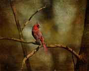 Cardinal Photo Framed Prints - Cardinal III Framed Print by Jai Johnson
