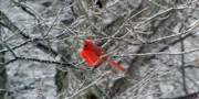 Icy Photos - Cardinal on Icy Branches by Amy Tyler