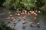 Wichita Kansas Posters - Caribbean Flamingos At The Zoo Poster by Joel Sartore