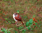 Elizabeth Hernandez - Carolina Wren