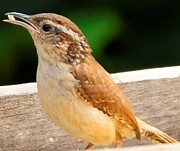 Terri Albertson - Carolina Wren