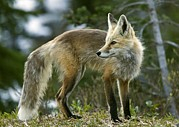 Cascade Mountains Prints - Cascade Red Fox Print by Bob Gibbons