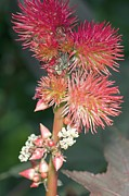Castor Prints - Castor Oil Plant (ricinus Sp.) Print by Dr Keith Wheeler