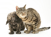 Brindle Prints - Cat And Mastiff Pup Print by Jane Burton