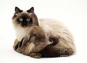 Cats Birman Prints - Cat And Rabbt Print by Jane Burton