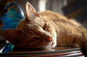 Felis Catus Prints - Cat Nap Print by David Patterson