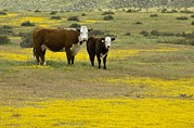 Carrizo Plain Prints - Cattle In California Print by Bob Gibbons