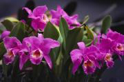 Cattleya Framed Prints - Cattleya Orchids Framed Print by Allan Seiden - Printscapes