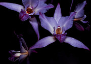 Cattleya Art - Cattleya Orchids by Cynthia Dickinson