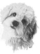 Designer Dogs - Cavachon by Barbara Keith