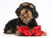 Cross Breed Posters - Cavapoo Pup With Roses Poster by Mark Taylor