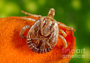 Tick Prints - Cayenne Tick Print by Science Source