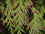 Biological Posters - Chamecyparis Lawsoniana Poster by Adrian Bicker