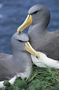 Critically Endangered Animals Prints - Chatham Albatross Thalassarche Eremita Print by Tui De Roy