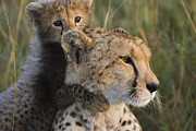 Acinonyx Posters - Cheetah Acinonyx Jubatus And Cub Poster by Suzi Eszterhas