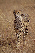 Cheetah Acinonyx Jubatus Portrait Print by Gerry Ellis