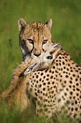 Acinonyx Framed Prints - Cheetah Acinonyx Jubatus With Its Kill Framed Print by Suzi Eszterhas