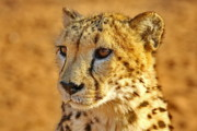 Cheetah Photo Originals - Cheetah Face  by Tom Cheatham