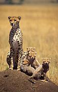 Leopard Hunting Framed Prints - Cheetah family Framed Print by Johan Elzenga
