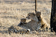 Featured Acrylic Prints - Cheetah Mother And Cubs Acrylic Print by Gregory G. Dimijian, M.D.