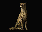 Cheetah Photos - Cheetah On Black Background by Erik Snyder
