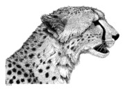 Cheetah Drawings Framed Prints - Cheetah Framed Print by Scott Woyak