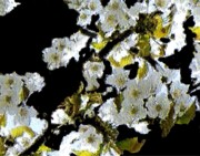Impressionism Prints - Cherry Bloom 1 Print by Navo Art