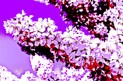 Trees Blossom Prints - Cherry Blossom Art Print by David Pyatt