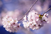 Blossoming Tree Prints - Cherry Blossom (prunus Serrulata) Print by Maria Mosolova