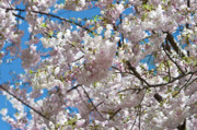 Cherry Tree Prints - Cherry Blossom Print by Sebastian Musial