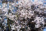 Cherry Blossom Tree Print by Svetlana Sewell