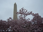 Cherry Blossoms Photo Originals - Cherry Blossoms at the Washington Monument by Tracy Dugas