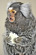 Barry R Jones Jr Digital Art Posters - Chewy the Marmoset Poster by Barry R Jones Jr