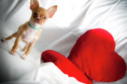 Tiny Dogs Photos - Chihuahua by Luca Spanu
