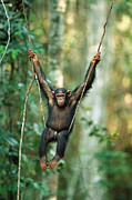 Frontal Metal Prints - Chimpanzee Pan Troglodytes Juvenile Metal Print by Cyril Ruoso