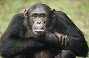Primate Photo Prints - Chimpanzee Pan Troglodytes Portrait Print by Gerry Ellis
