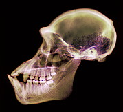 Chimpanzee Photo Posters - Chimpanzee Skull, X-ray Poster by D. Roberts