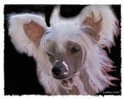 Akc Framed Prints - Chinese Crested Framed Print by Larry Linton