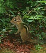Chipmunk Photograph Posters - Chip Poster by Barbara S Nickerson