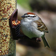 Chipping Sparrow Posters - Chipping Sparrow Poster by Deborah Johnson