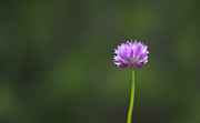 Flower Flowers Chives Garden Herbs Herb Garden Prints - Chive Flower Print by Marilyn Wilson